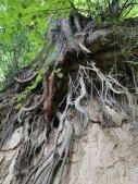 Niesamowite korzenie w wąwozie lessowym